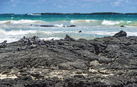 Marine iguanas resting at the lava cosast of Isabela Island, Galapagos Islands, Ecuador