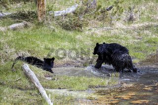 Bear and cub in water.