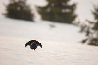 Black grouse cock lekking on snow early in the morning.