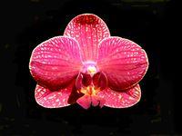 Moth Orchid (Pink Phalaenopsis)