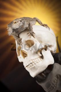 Lizard, human skull on black mirror background