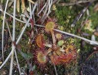 Fleischfressende Pflanze Sonnentau im Moor