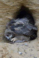 Eurasian Eagle Owl * Bubo bubo *, young chick, feeding on prey ( nutria )
