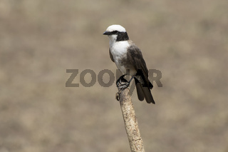 Northern White crowned Shrike that sits on a stick in the African savannah on a hot day