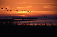 Geese and cranes at sunrise