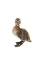 Baby Duckling isolated on white background