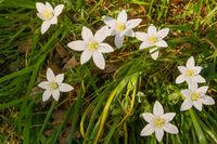 Star-of-Bethlehem white flowers