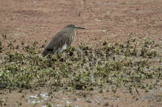 Indian pond heron in a winter dress that sits in the shallow water of a small pond in the national park of Bharatpur