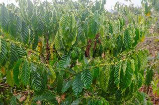 Coffee Flowers on Dalat Plantation