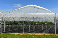 Hothouse for early production of strawberries, Thurgau, Switzerland