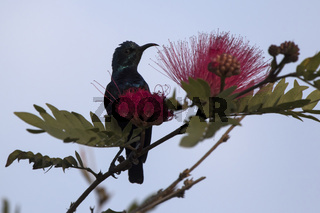 male purple sunbird who sits on a branch near the flower where he feeds