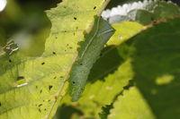 Caterpillar of the pyramidal green fruitworm