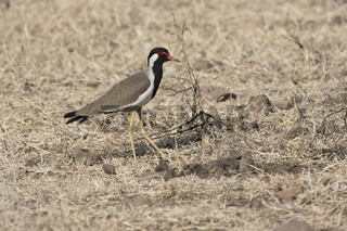 Red wattled lapwing which stands on a dry meadow on a winter sunny day