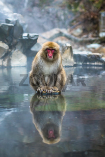 Snow monkey or Japanese Macaque in hot spring onsen