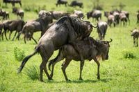 Great Migration blue wildebeest mating in grass