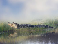 American alligator near water