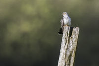A common cuckoo is sitting on a post