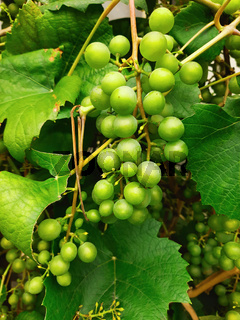 Green grapes branch