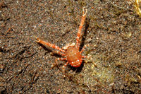 Squat Lobster, Galathea sp