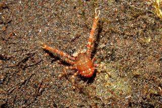 Squat Lobster, Galathea sp