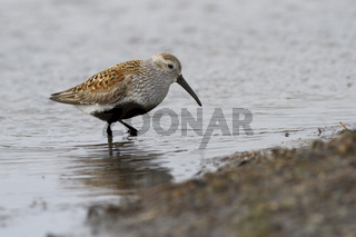 Dunlin standing in the water on the shallows at the mouth of the river in the spring