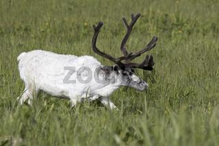 White male Reindeer walking in a marshy meadow