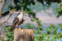 Trained peregrine falcon sits on pole in nature