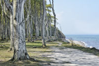 ghost forest of Nienhagen at the Baltic Sea