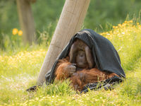 Adult male Bornean Orangutan - Pongo pygmaeus - sitting outdoors in green grass, partly hiding under a black blanket. Looking shy, thoughtful and introvert.
