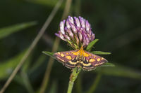Purple borer (Pyrausta purpuralis)