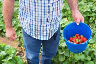 Farmer holding bucket of strawberries