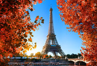 Maple tree in Paris