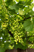 Green and unripe grapes hanging on a branch.