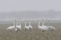 Whooper Swans ( Cygnus cygnus ) resting on a rape field