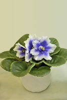 Beautiful blossoming plant of Senpolia in pot with blue and white petals (Humako Inches)