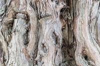 ancient sandalwood trunk closeup