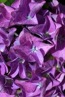 Purple Hydrangea background. Macro photo.