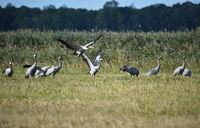 Cranes look for food