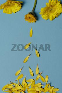 Chrysanthemum yellow flowers and falling petals