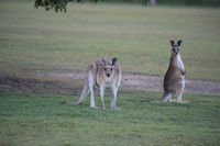 eastern grey kangaroo (Macropus giganteus) in the morning at the food intake ,Queensland ,Australia