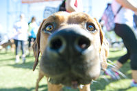 Close up of Brown Dog looking directly into camera