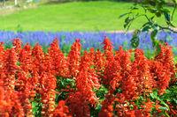 Salvia Plant Floral