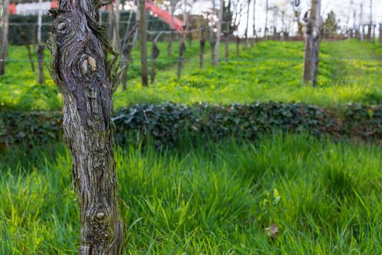 Vineyard Post Closeup Texture Branch Rough Wooden Leaves Green Grass Empty Autumn Grass