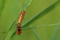 Artistic beetle copulation - Rhagonycha fulva