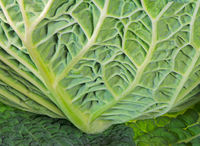 Abstract savoy cabbage leaf