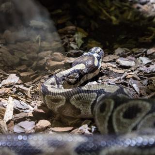 The ball python, Python regius, also known as the royal python