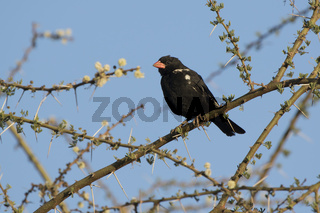 Red-billed Buffalo-Weaven sitting on a dry branch of a tree in the savannah