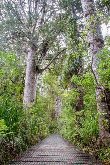 Kauri Tree Forest in New Zealand