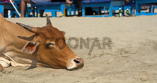 Indian sacred cows come out to the beach and lie