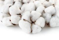 Close up of cotton bolls
